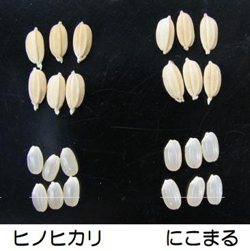 長崎 にこまるの特徴 米粒の比較