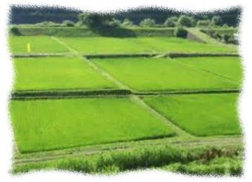 こしひかり 田んぼの風景 おいしい お米 通販 ランキング